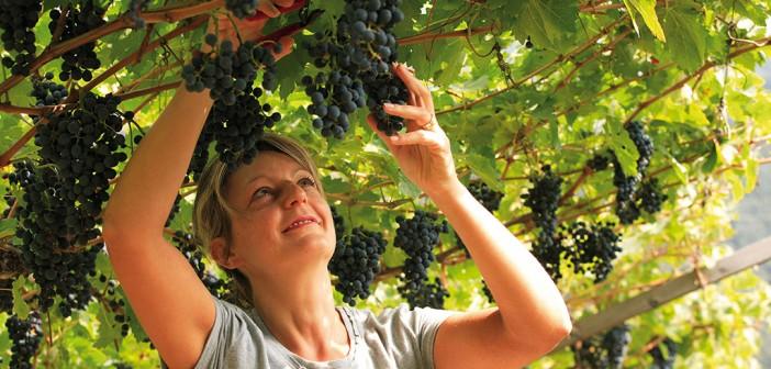 Weinlese im Herbst im Trentino